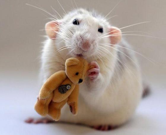 rat16